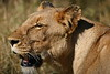 This is the Lioness that gave birth to several of the nine  cubs.