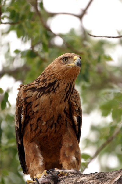 Tawny Eagle with remains of a Vervet Monkey in his talons