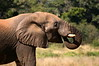 This Elephant had dug a large hole in the riverbed, found water and drank and drank. They go through 100 litres per day.