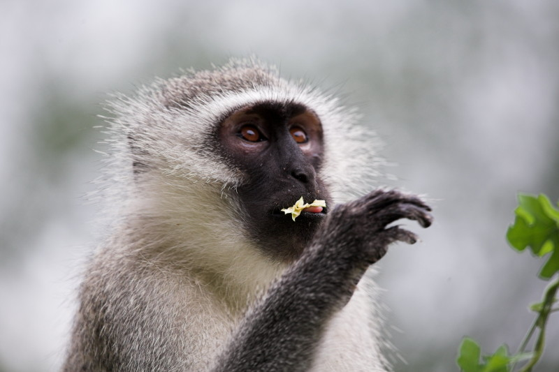 This monkey stayed around the house for about 5 days all alone. Here he is eating a flower.