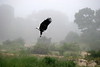 Fish Eagle on a misty morning.