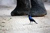 Perspective. Glossy Starling