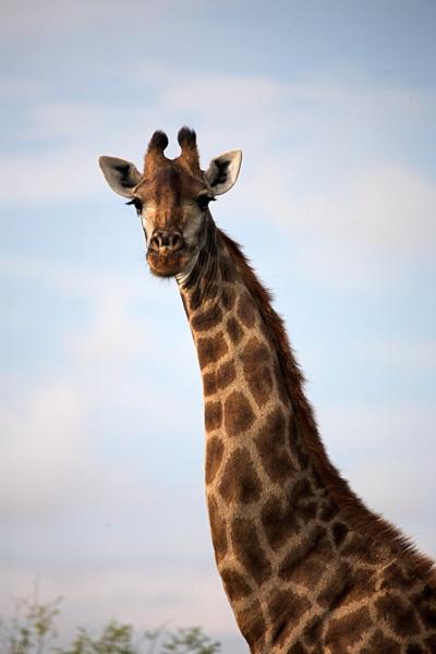 Inquisitive Giraffe.