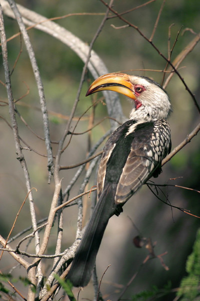 Yellow beaked Hornbill