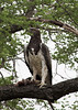 Marshall Eagle with Monitor Lizard in his talons