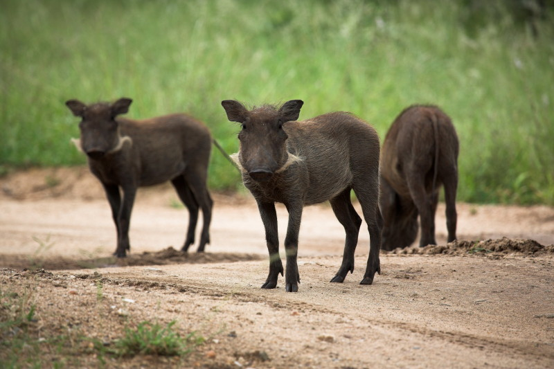 Young Warthog family just outside camp.