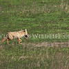 Golden jackal moving cub