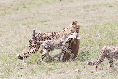 With a burst of speed this cheetah brought down a gazelle even though the group was carefully watching the cheetah approach.  The cheetah cub helps mom to bring home dinner.