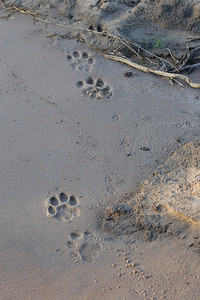 Hmm whose paw prints are these in the river?