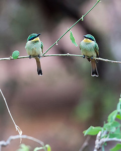 A pair of little bee eaters look on amused (we were stuck in the mud)