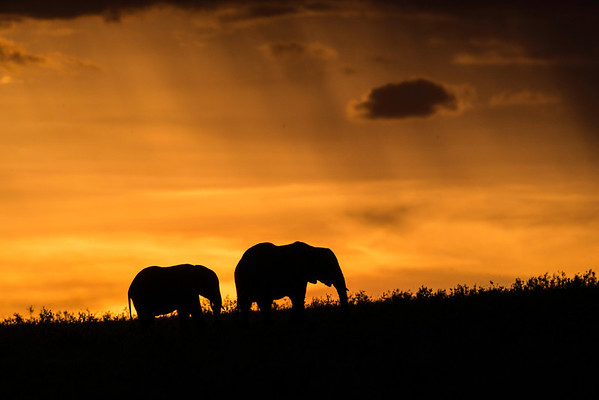 Elephant silhouettes at sunset
