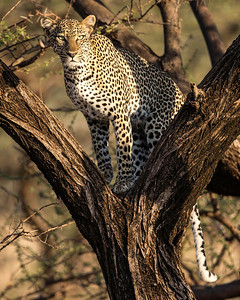 This leopard was prowling in the early morning and climbed the tree briefly for a better view (hers and ours).