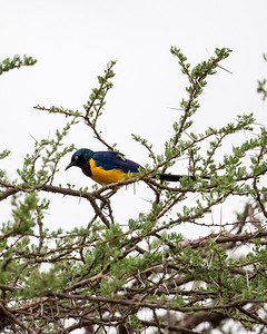 The gold breasted starling with it's long blue tail is one of the more striking local birds