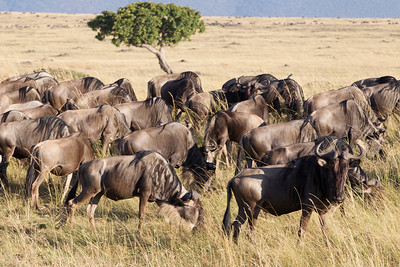 wildebeasts are everywhere in the Mara