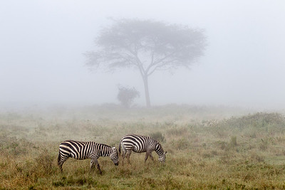 Two zebras in the morning fog