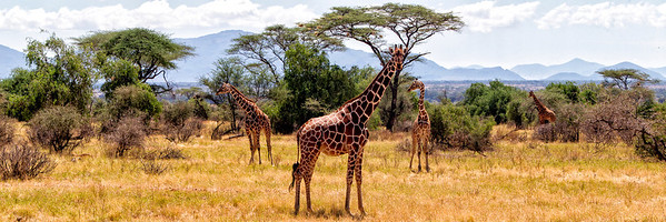 The somali giraffe