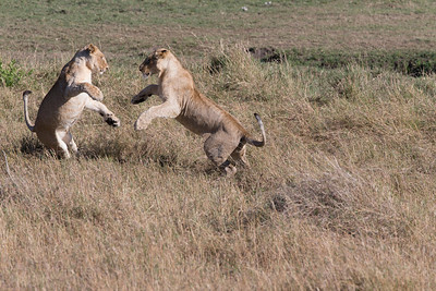 Two young lions dance as they practice their steps