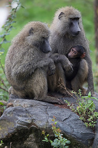 Baboons are everywhere at Lake Nakuru