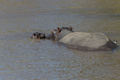 Hippos look very cute like this mother and child in the water