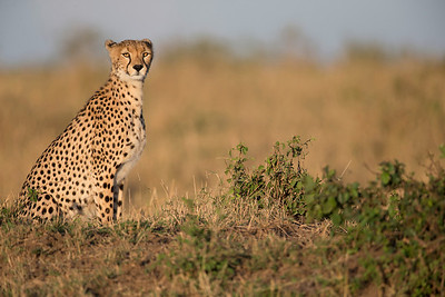 And of course the cheetah.  Here enjoying the morning sun
