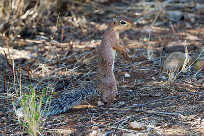 Ground squirrels are plentiful