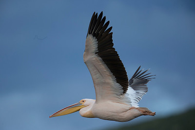 Lake Nakuru is famous for its lesser flamingos, but today the pelicans predominate