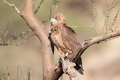 An immature tawny eagle watches