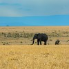 Elephant (Loxodonta africana) Masi Mara NP., Kenya