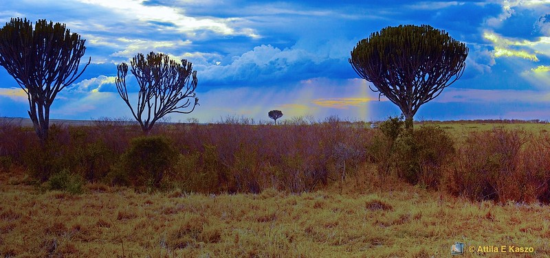Candelabra Tree (Euphorbia candelabrum), Masi Mara NP, Kenya