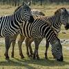 Plains Zebra (Equus burchellii), Lake Nakuru NP, Kenya