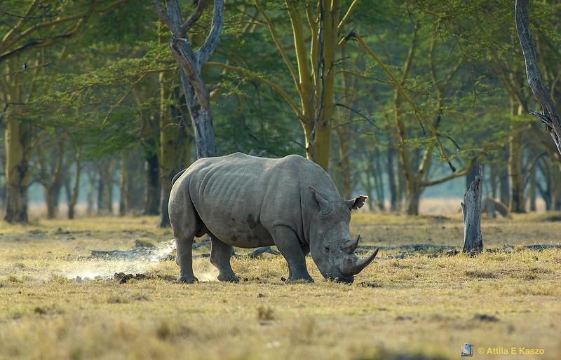 White Rhinoceros (Ceratotherium simum), Lake Nakuru NP, Kenya