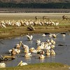 Pelican Great White (Pelecanus onocrotalus)<br /> lake nakuru np