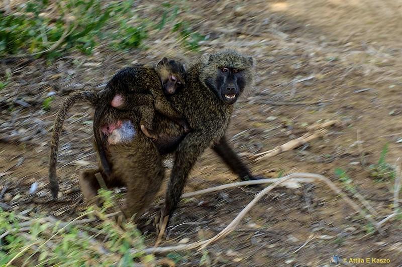 Olive Baboon (Papio cynocephalus)<br /> samburu np