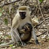 Velvet Monkey - Infant (Cercopithecus aethiops)<br /> samburu np
