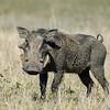 Warthog (Phacochoerus aethiopicus), Lake Nakuru NP., Kenya
