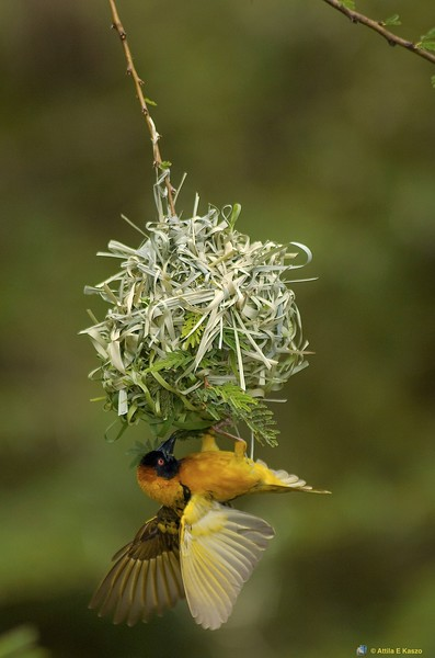 Lesser Masked Weaver (Plocus intermedius), Masi Mara NP., Kenya