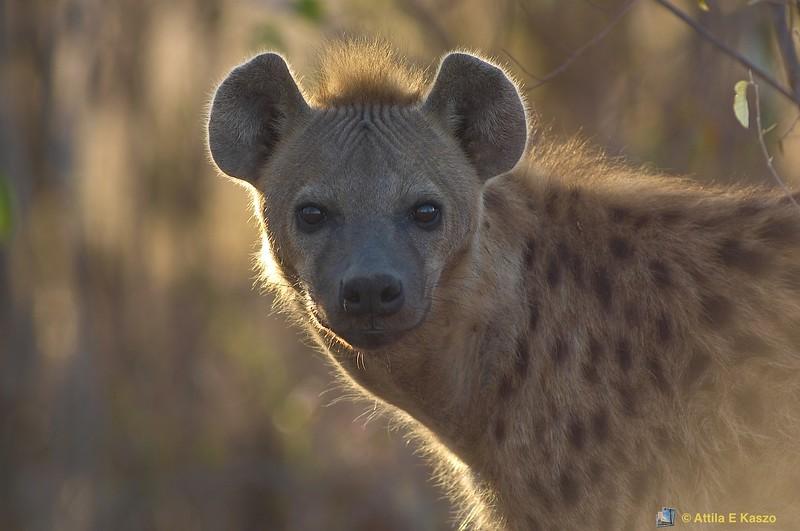 Spotted Hyaena (Crocuta crocuta), Masi Mara NP., Kenya