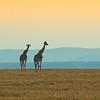 Giraffe (Giraffa camelopardalis), Masi Mara NP., Kenya