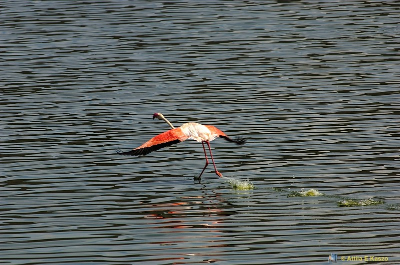 Flamingo Lesser (Phoeniconaias minor)<br /> Lake bagoria np