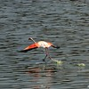 Flamingo Lesser (Phoeniconaias minor)<br /> Lake bagoria np