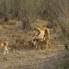 Lion / Cubs (Panthera leo), Masi Mara NP., Kenya