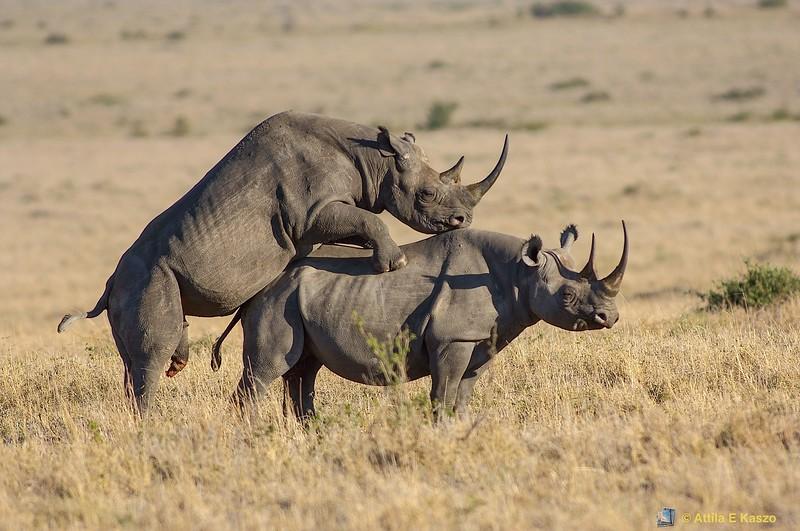 Black Rhinoceros (Diceros bicornis), Masi Mara NP., Kenya
