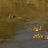 Egyptian Geese / Hippos, Masi Mara NP., Kenya