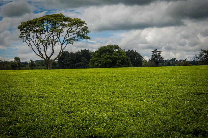 Limuru Tea Plantation - Narobi, Kenya