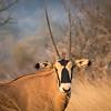 Fringe eared oryx, Ol Donyo, Kenya