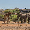 Bull elephants and Masai giraffe at Ol Donyo waterhole with lodge in background
