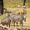 Grevy's and Buchell's zebra, Lewa Conservancy, Kenya.  Bruchell's on foreground  left with thick stripes and under the belly.  Grevy's on right with thinner stripes and not under the belly.   Impala and waterbuck in the background.