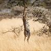 Gerenuk eating whistling thorn acacia, Ol Donyo, Kenya