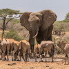Bull elephants, oryx, and eland at Ol Donyo waterhole, Kenya