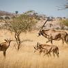 Fringe eared oryx and yearlings, Ol Donyo, Kenya
